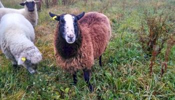 ovce_zwartbles_145121_HDR