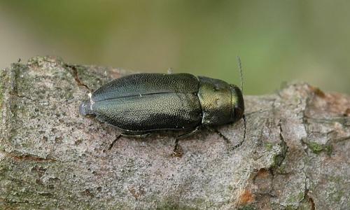 Melanophila formaneki